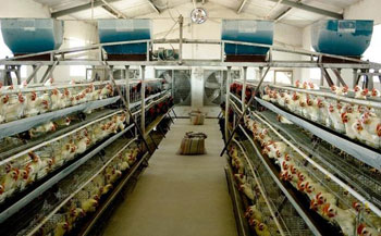 poultry breeding industry